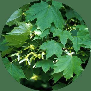 çınar yapraklı akçaağaç