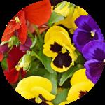 Çiçek Çeşitleri ve kullanım alanları
