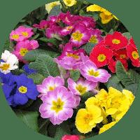 çuha çiçeği bahçe