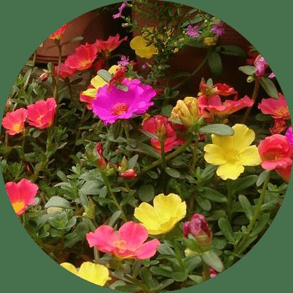Keditırnağı çiçeği