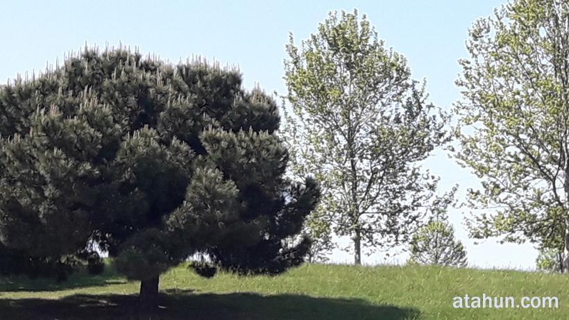 ığdır ağaç çeşitleri