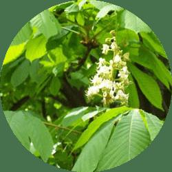Beyaz Çiçekli At Kestanesi Ağacı hakkında bilgi