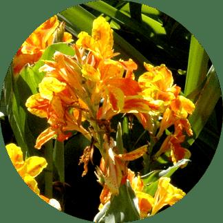 Canna hortensis