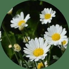 Giresun çiçek isimleri
