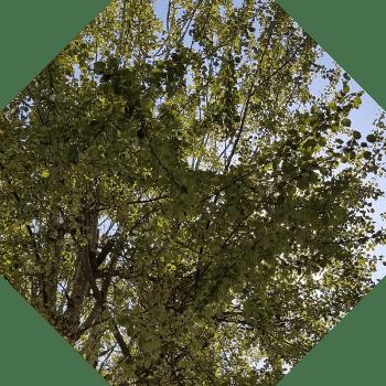 Giresun ağaç çeşitleri isim