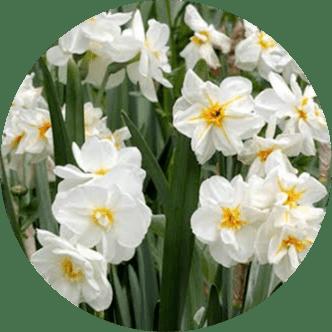 İzmir çiçeği
