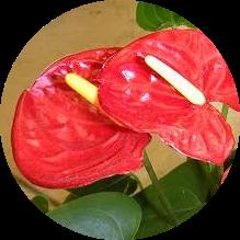 Kırmızı yapraklı çiçek resmi