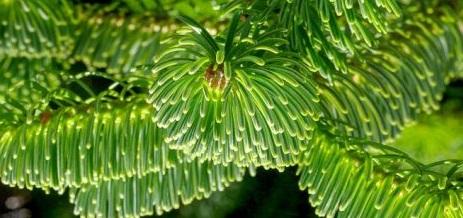 Karadeniz Göknar Ağacı çeşitleri