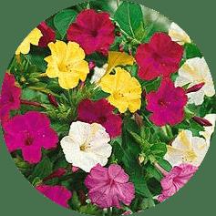 akşam safası çiçeği