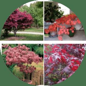 Ankara'da yetişen ağaç çeşitleri nelerdir?