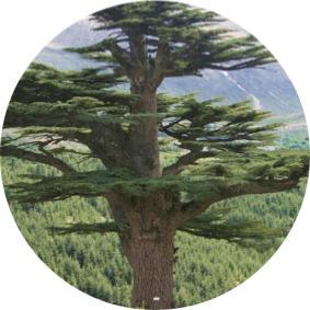 antalya da yetişen ağaç çeşitleri nelerdir
