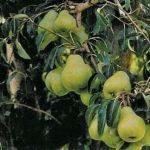 Armut Ağacı Nasıl Budanır?