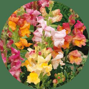 aslanağcı çiçeği
