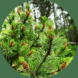 Türkiye'de asli ağaç türleri