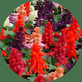 ateş çiçeği resmi