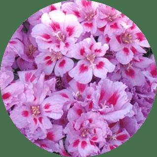 atlas çiçeği