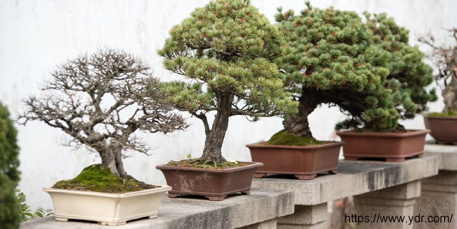 Bonsai Ağaçlarının Özellikleri Nelerdir?