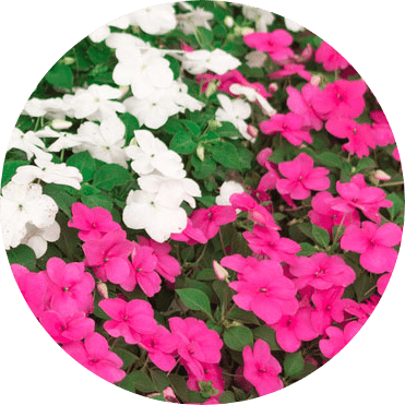 cam çiçeği rengi