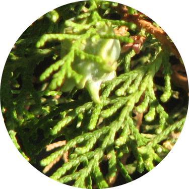 doğu mazısı ağacı