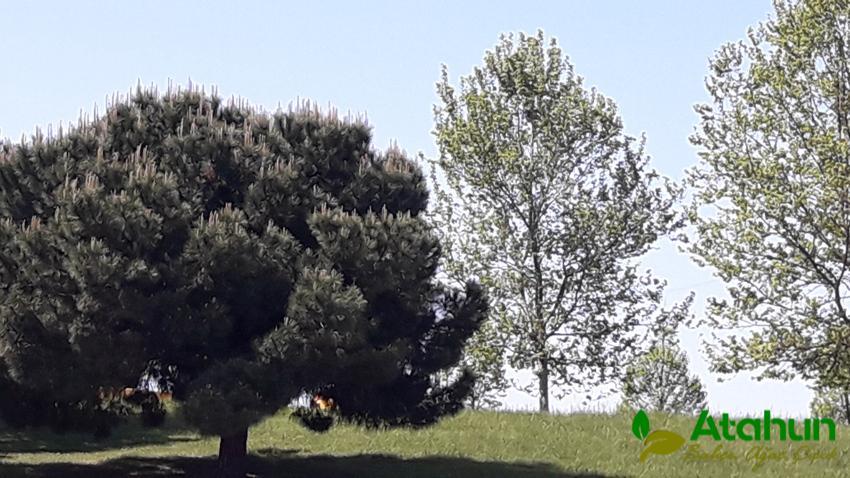 edrinede yetişen ağaç çeşitleri