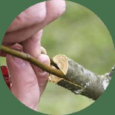Meyve ağaçlarında aşı takvimi