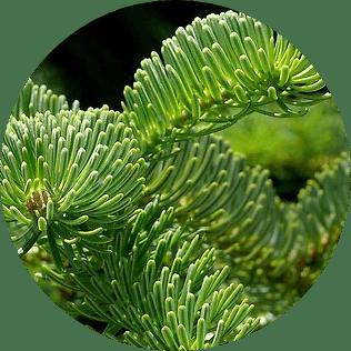 göknar ağacı çeşitleri ve türleri