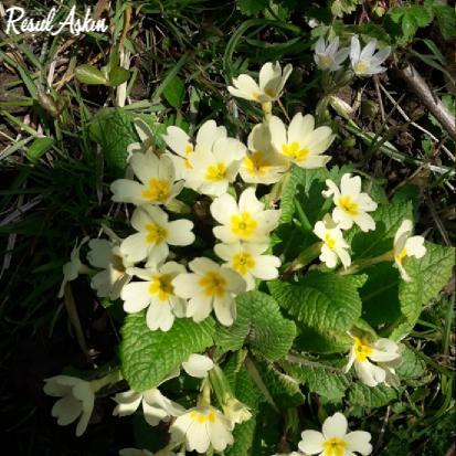 giresun bahçe çiçeği