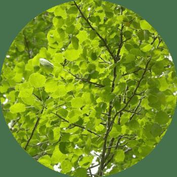 Türkiye'de En Hızlı Büyüyen Ağaç Çeşitleri