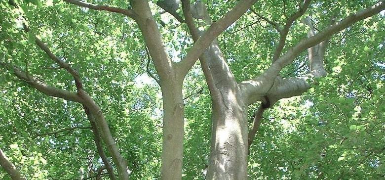 izmit kocaeli ağaçları