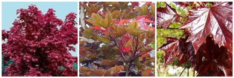 kırmızı yapraklı akça ağaç
