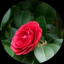kamelya ağacı japon camellia