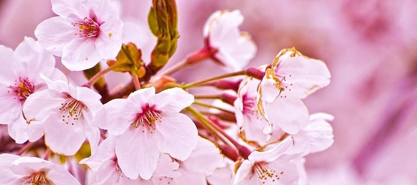pembe açan çiçekler istanbul