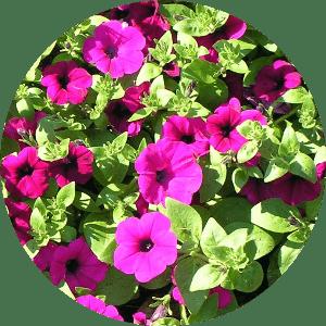 petunya çiçeği