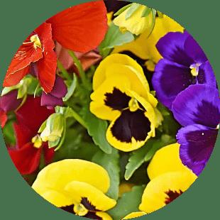 sardunya çiçekleri
