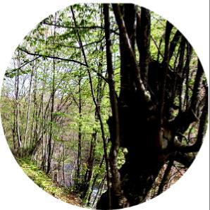 yalova ağaç çeşitleri