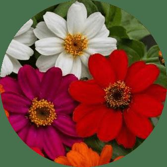 zinnia çiçeği, kirlihanım