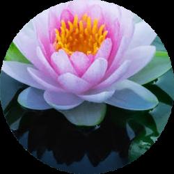 Lotus nilüfer çiçeği