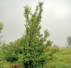 Yapraklı Ağaç ve Ağaççıklar