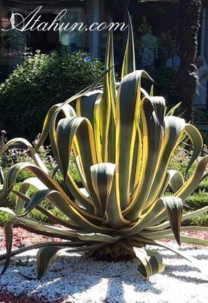 agave bitkisi