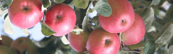 misket elması