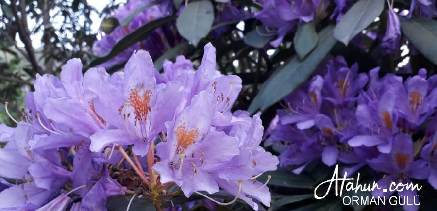 bartın, çiçek, çeşitleri