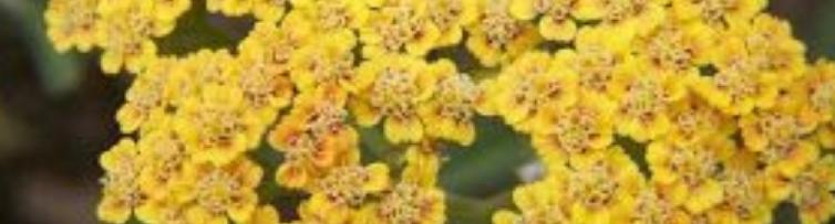 Civan Perçemi Çiçekleri