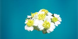 eskişehir çiçek isimleri