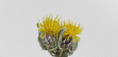 eskişehir endemik bitkileri