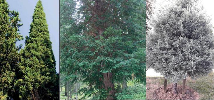 ibreli ağaç