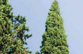 Türkiye'de İbreli Ağaç Türleri Nelerdir?