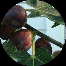 incir ağacı meyvesi