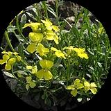 istanbul endemik bitkileri