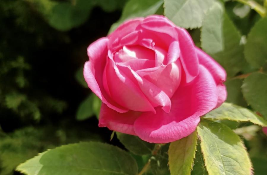 istanbul gülleri