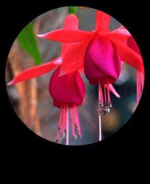 küpe çiçekleri bakımları